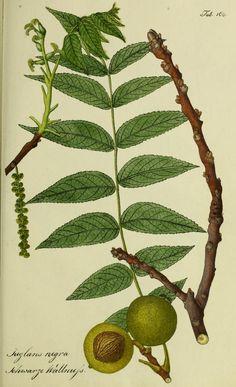 Bd.3 (1800) - Österreichs allgemeine baumzucht, : - Biodiversity Heritage Library