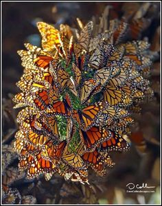 What's the meaning when clusters of butterflies enter your dreams? It was a beautiful sight!! Last night's dream, so vivid!!