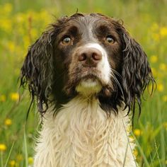 Stunning English Springer Spaniel from Arduinna Gundogs as seen on www.gundogbreeders.co.uk