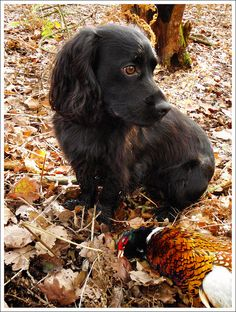 English Cocker Spaniel - with pheasant!  Henry - Shortwood 29th October 2011 by Regular Rod, via Flickr