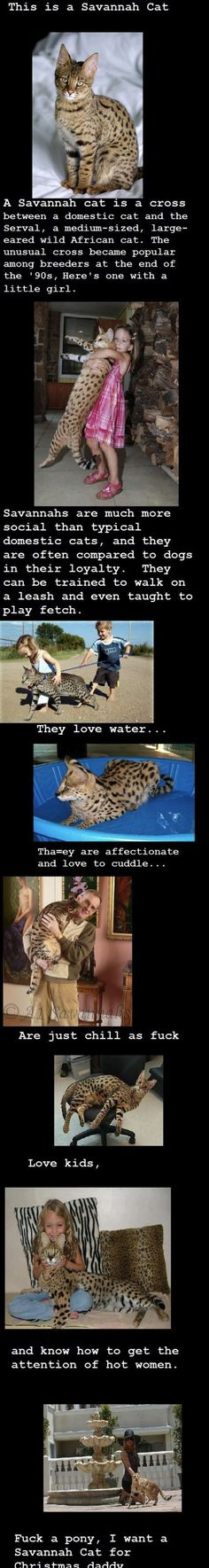 I want a Savannah cat and I want it now…