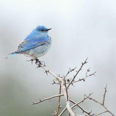 Mountain Blue Bird   by Minette Layne, via Flickr