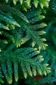Evergreen sparkles