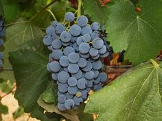 What is the deal with Hairy Grenache?: