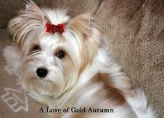 Golddust Yorkshire Terrier