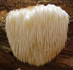 Nice article on medicinal mushrooms by famed herbalist Terry Willard. This picture is of the lion's mane mushroom, thought to stimulate nerve growth and have a positive effect on dementia. I've had real people write to me about the amazing progress their loved ones with dementia or Parkinson's have made by supplementing with this mushroom. Very interested to see where future research goes with this!
