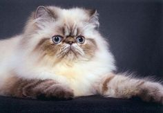 Himalayan Cat.  He would compliment Willie with that face.
