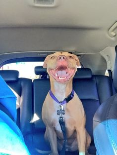 Pit bulls spent the year being the WORST backseat drivers: | 26 Reasons Pit Bulls Were The Most Dangerous Animal In 2015