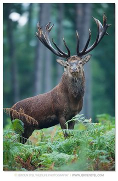 Red Deer: these timid animals are said to have been on the earth for quite some time, 400 000 years in fact.
