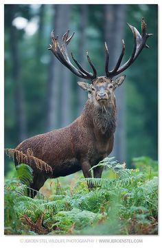 Red Deer - Buck