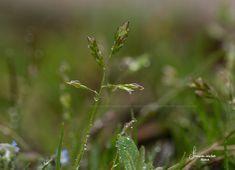 Haiku, Natur, Haikufotografie, Gras, Makro, Macrohotography, Sigmamacro