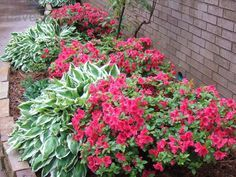 Great example of azaleas mixed with hostas. I'd love to do this in our yard.
