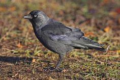 Wil je iets weten over de Kauw? Kijk in de online vogelgids van Vogelbescherming. http://www.vogelbescherming.nl/kauw/play