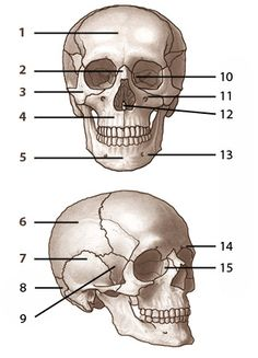 Bones of the skull, labelled. From www.free-anatomy-quiz.com