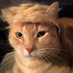 Trump Your Cat: Donald Trump Mocked By Hilarious Pics Of Felines With His Hair [PICS] Trump Your Cat: Donald's Hair Mocked By Pet Owners With Funny Meme – Hollywood Life - Colorful Toupee Hairs Funny Meme Pictures, Funny Memes, Hilarious, Donald Trump Hair, Trump You, Hollywood Life, Animal Pictures, Funny Animals, Animal Funnies