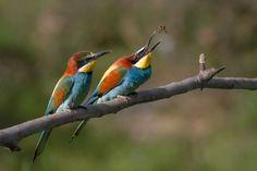 Fájl:Pair of Merops apiaster feeding.jpg