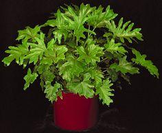 Selloum Philodendron