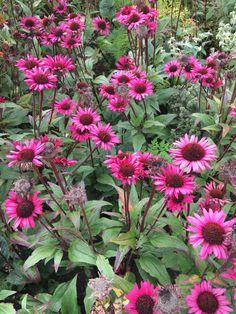 Camilla Hiley - Garden and Landscape Designer - Salisbury, Wiltshire UK Salvia, Fatal Attraction, Garden Plants, Landscape Design, Garden Ideas, Planters, Texas, Gardening, Autumn