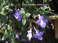 (streptocarpus saxorum)