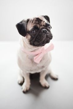 OK, so I'm not a big fan of Pugs, but really . a pug in a bowtie? Love My Dog, Pug Love, Cute Pugs, Cute Puppies, Pet Dogs, Dog Cat, Doggies, Baby Dogs, Amor Pug