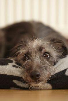 Scottisch Deerhound Pup
