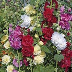 Hollyhock Carnival Mix Flower Seeds (Alcea Rosea) 50+Seeds - Under The Sun Seeds  - 3