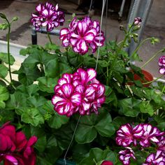 Easy To Grow Houseplants Clean the Air Contessa Burgundy Bicolor Ivy Geraniums Flower Words, Flower Images, Ivy Geraniums, Geranium Plant, Trailing Flowers, Ornamental Cabbage, Garden Plants, Flowering Plants, Houseplants