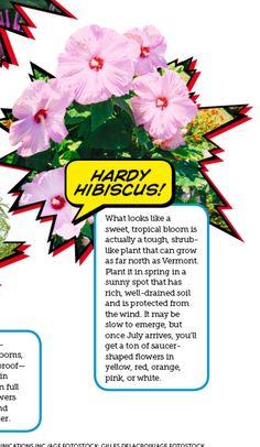 Hardy hibiscus-full sun perennial