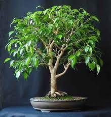 Ficus Forum - Friends Bonsai - Page 14 Bonsai Ficus, Mame Bonsai, Succulent Bonsai, Ficus Tree, Bonsai Plants, Bonsai Garden, Succulent Wall, Succulents Garden, Air Plants