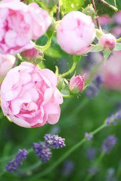 David Austin Rosen, Rosen Beet, Flora, Roses, Spring, Garden, Nature, Plants, Easter