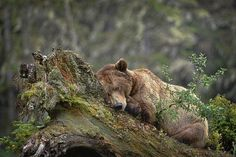 Picture of a grizzly bear sleeping on a tree in Khutzeymateen Grizzly Bear Sanctuary in British Columbia, Canada