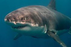 Shredder, great white shark profile
