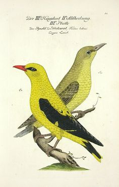 Frisch Antique Bird Prints 1733