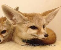 Fennec Fox For Sale Fox For Sale Pets For Sale Fennec Fox
