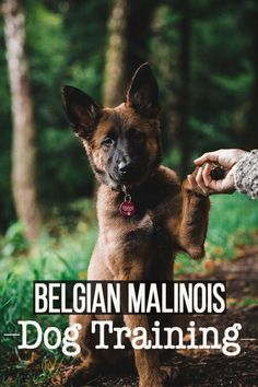 Malinois Training, 20 commands in two minutes. After 1 years I have summarized what Sansa learned in basics and tricks. Belgian Malinois Training, Belgian Malinois Puppies, Training Your Puppy, Dog Training Tips, Belgium Malinois, Cat Shaming, Super Cute Animals, War Dogs, Horse Care