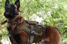 Australian Army Military Working Dog 'Quake' #malinois #mwd