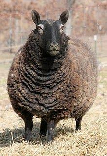 natural colored border cheviot....#sheep.. Farm Animals, Animals And Pets, Funny Animals, Cute Animals, Wild Animals, Sheep Farm, Sheep And Lamb, Alpacas, Wooly Bully