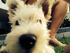 Hooper the little Scoland terrier #scottie #westie #completelyadorable
