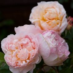 Evelyn (foreground) and Tamora (background) - English Roses