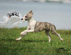 By Julie Poole. Magyar Agar, Dog Expressions, Whippet Dog, Cute Puppy Pictures, Grey Hound Dog, Wolfhound, Italian Greyhound, Cute Little Animals, Mans Best Friend
