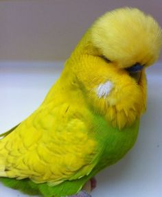 Image result for green yellow pied opaline budgerigar