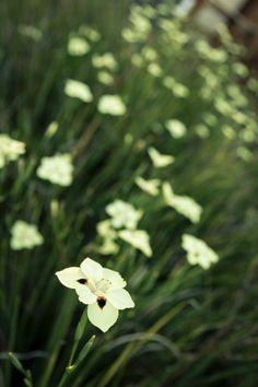 Moreia bicolor (Dietes bicolor): apesar de parecer delicada, esta planta é muito resistente e demanda baixa manutenção. Tolerante ao frio, gosta de regas regulares.  Fotografia: Getty Images.