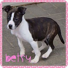 Fort Wayne, IN - Boston Terrier/Chihuahua Mix. Meet Betsy, a puppy for adoption. http://www.adoptapet.com/pet/17317660-fort-wayne-indiana-boston-terrier-mix