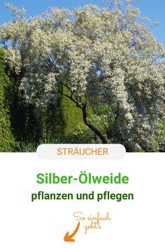 Die Silber-Ölweide begeistert im Garten mit ihrem silbrigen Laub und ihrer Anspruchslosigkeit. So pflanzt und pflegt ihr Elaeagnus commutata richtig. #baum #straeucher #oelweide #laub #meinschoenergarten Silver