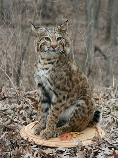 bobcat sitting mount - Google Search