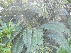 Encephalartos Villosus: A South African cycad and is very common. the value of this cycad is R15 a cm