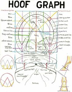 Hoof graph - important to know your horse's feet. (plus the coolest horse anatomy website ever!) {When you see this hoof graph this is really an important to know your horse's feet} Pretty Horses, Horse Love, Beautiful Horses, Horse Anatomy, Leg Anatomy, Animal Anatomy, Horse Information, Horse Care Tips, Horse Facts