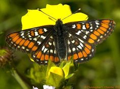 The Gillette's Checkerspot (Euphydryas gillettii) is a species of butterfly, common in western North America from British Columbia to Oregon and from the Rocky Mountains to the Pacific Ocean. The wingspan is 36–45 mm. Adults fly from mid-June to early August in Alberta.