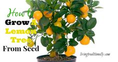 how to grow indoor lemon tree