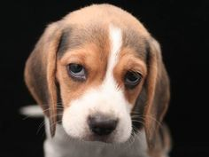 Are you interested in a Beagle? Well, the Beagle is one of the few popular dogs that will adapt much faster to any home. Whether you have a large family, p Cute Beagles, Cute Puppies, Dogs And Puppies, Begal Puppies, Most Popular Dog Breeds, Best Dog Breeds, Pet Breeds, Beagle Breeds, Types Of Beagles